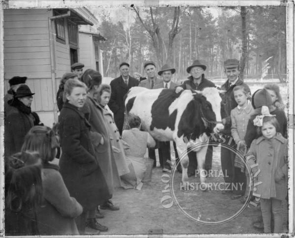 Wizyta Amerykanów w Metodystycznym Domu Dziecka w Konstancinie i przekazanie dwóch  krów  (Willa Skaut - Boże Narodzenie 1946 www.seagoingcowboysblog.wordpress.com))